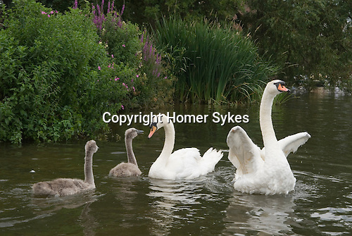 Swan Upping. The River Thames near Windsor Berkshire England 2007. A family released having been weighed measured and ringed.