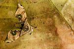 Hawk Moth (Daphnusa ocellaris) camouflaged on leaf, Tawau Hills Park, Sabah, Borneo, Malaysia