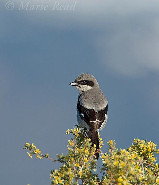 Loggerhead Shrike (Lanius ludovicianus) perched on Bitterbrush, Mono Lake Basin, California, USA