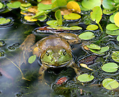A frog among lilly pads. photo by jane therese