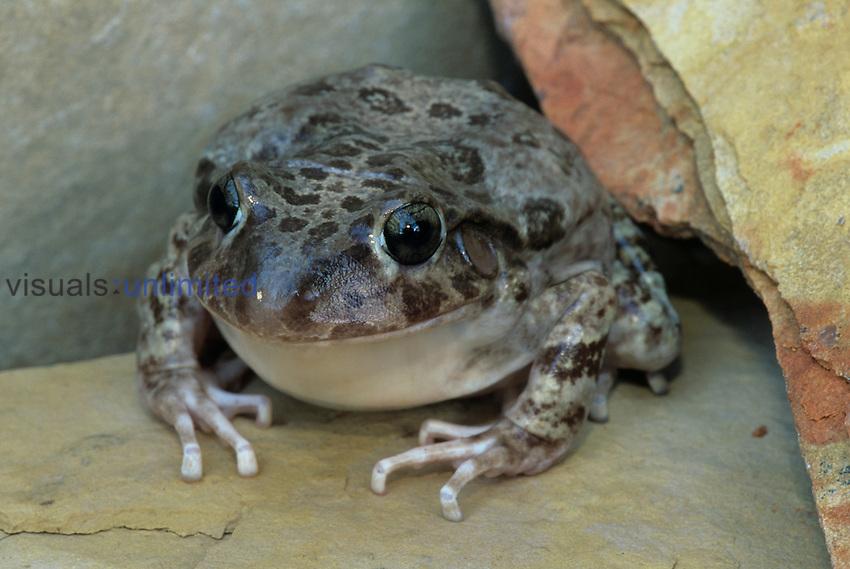 Eastern Barking Frog (Eleutherodactylus augusti latrans).
