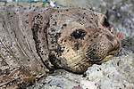 elephant seal yearling with flies