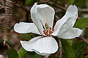 Magnolia kobus 'Norman Gould', mid April.