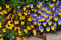 Pansies (Viola) johnny jump up flowers at edge of garden bed