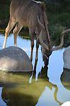 greateer kudu drinking