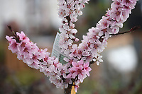 NWA Democrat-Gazette/J.T. WAMPLER  A pear tree blooms Tuesday March 19, 2019 at White River Nursery in Fayetteville. Today ((WEDNESDAY MARCH 20)) is the first day of spring. For more information visit www.whiterivernursery.com
