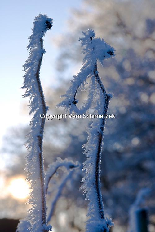 Europe, DEU, Germany, North Rhine-Westphalia, frosted plants....Europa, DEU, Deutschland, Nordrhein-Westfalen, mit Raureif bedeckte Pflanzen......[Copyright / Contact: Vera Schimetzek, Bornstrasse 5, 58300 Wetter, Germany, cell: 0049.(0)151.21220918, schimetzek@web.de, www.schimetzek-foto.de, publication is subject to a fee and report, the General Terms and Conditions apply. Die Veroeffentlichung ist melde- und honorarpflichtig, die AGB sind bindend.]