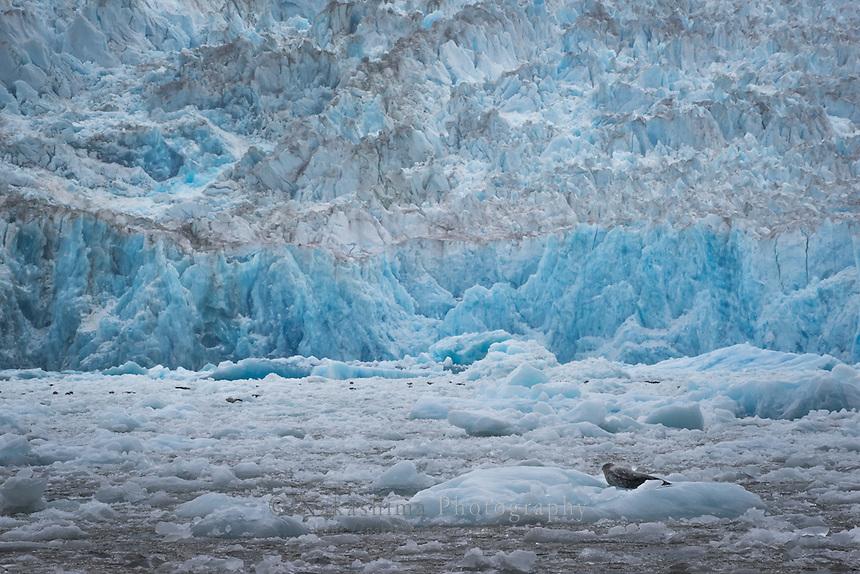 場所:ジュノー南部 トンガス国有林(英名:South of Juneau Tongass National Forest)動物名称:セニガタアザラシ(英名:Harbor seal 学名:Phoca vitulina) 氷河名称:サウス・ソーヤー氷河(英名:South Sawyer glacier)