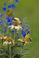American Goldfinchs, Lumberton, New Jersey
