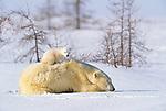 Polar bear sow and cub, Manitoba, Canada
