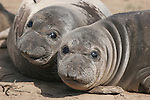 elephant seal weaners at Ano Nuevo State Park