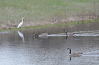Egret and Canada geese on pond in rear field of Perch Creek