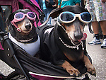 Two costumed dogs in a baby carriage wearing sunglasses.  They just reminded me of Britney and Paris. One dog has its tongue out, lick its chops.