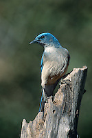 551130005 Mexican Jay Aphelocoma wollweberi WILD.Perched on dead stump.Madera Canyon, Arizona