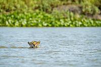 Jaguar, Panthera onca, swimming, Pantanal, Mato Grosso, Brazil