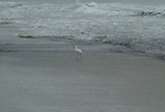 A snowy egret hunts along the surf line at St. Augustine Beach.
