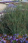JUNCUS PATENS 'CARMEN'S GREY', CALIFORNIA GRAY RUSH, AND PANSY
