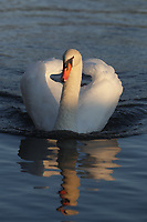 A swan reflecting in a pond. Photo/Andrew Shurtleff Photography, LLC