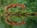 Red squirrel jumps for joy with a nut in it's mouth by Dr. Hamad Bouresli