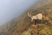 Alpine Ibex (Capra ibex), buck standing, Niederhorn, Interlaken, Switzerland, Europe