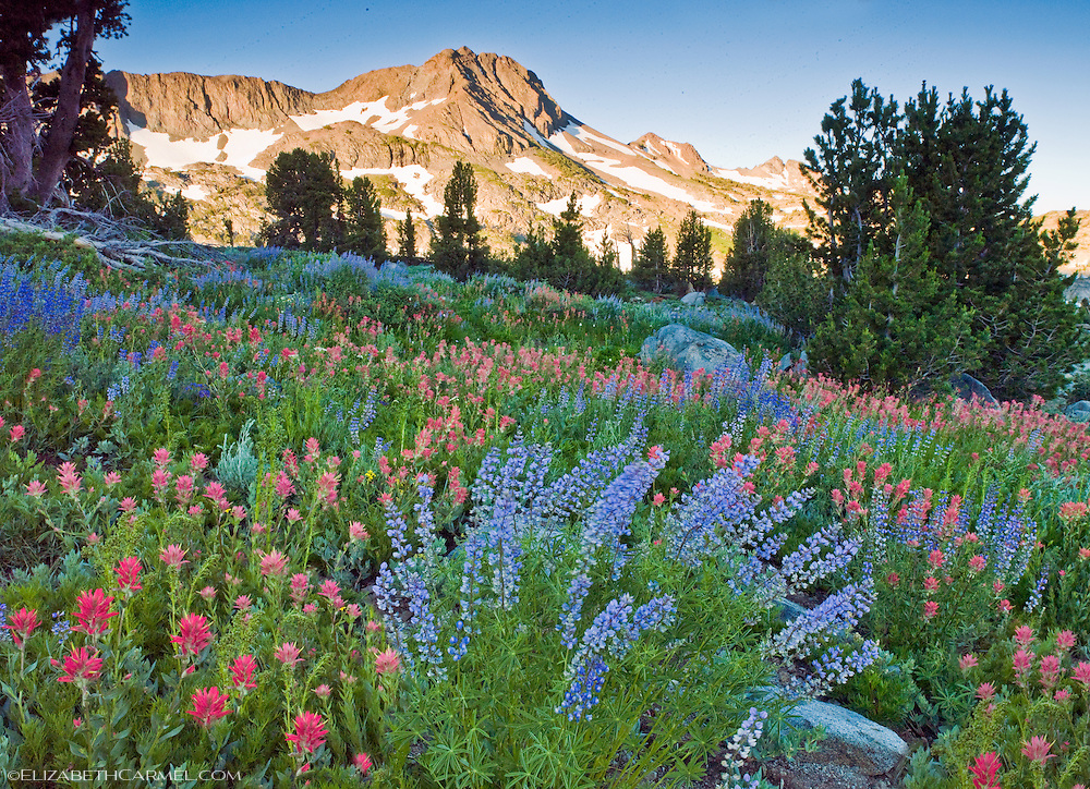 Paintbrush & Lupine
