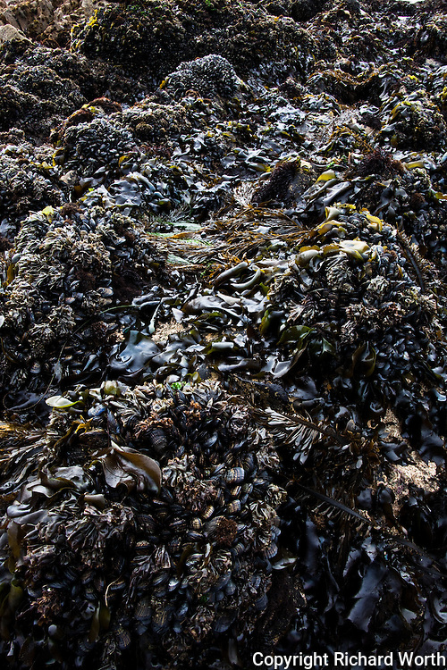 Seaweed and mussels cover rocks next to the tide pools at Pescadero State Beach, California.