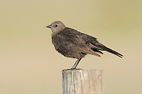 Adult female Brewer's Blackbird (Euphagus cyanocephalus) on fence. Southeast Alberta, Canada. May.