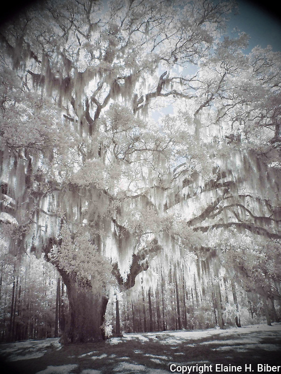 Ethereal live oak draped with Spanish moss