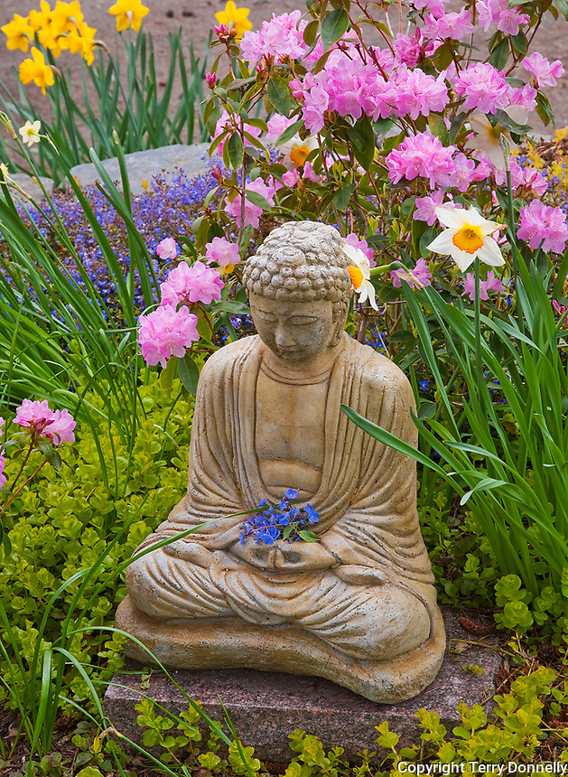 Vashon Island, Washington<br /> Garden statue of meditating buddah with narcisssus (daffodils) and pink rhododendron (pioneer pink) blossoms in early spring