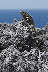 Cuban iguana (Cyclura nubila nubila) on the peninsula de Guanahacabibes (western point of Cuba). The total population of this subspecies  is estimated at between 40,000 and 60,000 individuals.