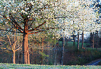 Stock photo: Full bloomed white cherry blossom tree standing in a meadow filled with trees in Georgia, USA.