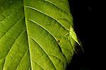 Cicada (Cicadidae) camouflaged on leaf, Kibale National Park, western Uganda