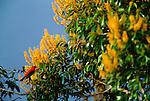 Scarlet Tanager, Panama