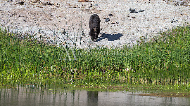"""The black bear sow nicknamed """"Rosie"""" was seen frequently with her three yearling cubs throughout the spring."""
