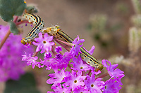 White Lined Sphinx or Striped Morning Sphinx, Hyles lineata caterpillar eating wildflowers Anza Borrego desert, California
