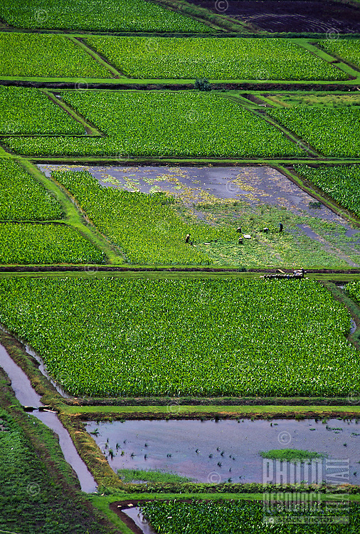 Thousands of rich green taro plants grow in ponds called loi. Farm workers harvest the sturdy plants, sacred in Hawaiian culture as a food staple (poi and other usage), Photographed at Hanalei, Kauai.