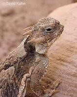 0610-1002  Desert Horned Lizard or Horny Toad (Mojave Desert), Phrynosoma platyrhinos  © David Kuhn/Dwight Kuhn Photography