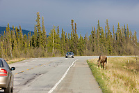 Bull moose with spring antler growth along the Richardson Highway near Delta, Interior, Alaska