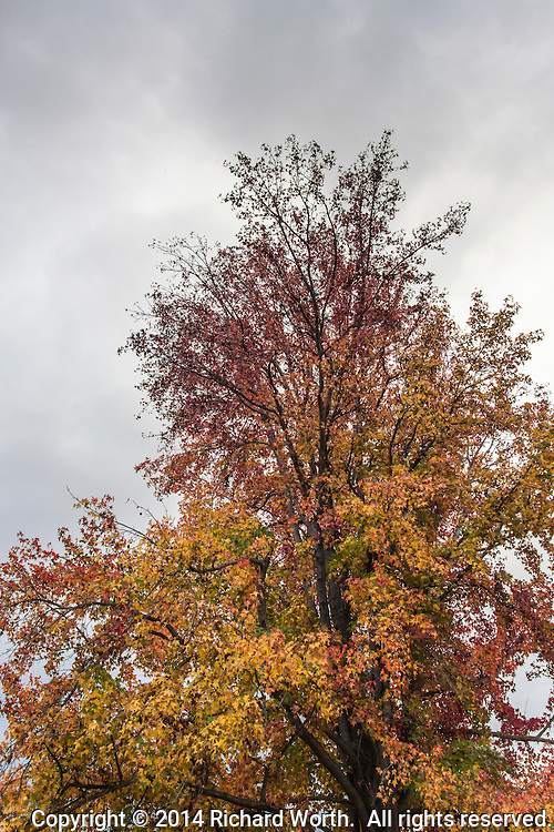 On an overcast, drizzly afternoon a Sweetgum tree stands covered in leaves of red, yellow, orange and even some still green.
