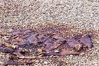 Annual Adams River Sockeye Salmon Run (Oncorhynchus nerka), Roderick Haig-Brown Provincial Park near Salmon Arm, BC, British Columbia, Canada - Pile of Rotting Dead Fish