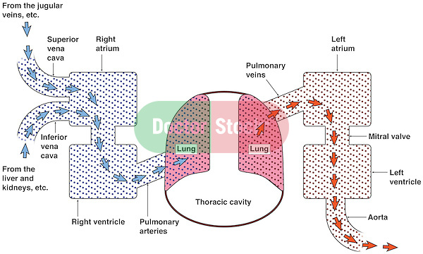 Diagram of the Cardiopulmonary System