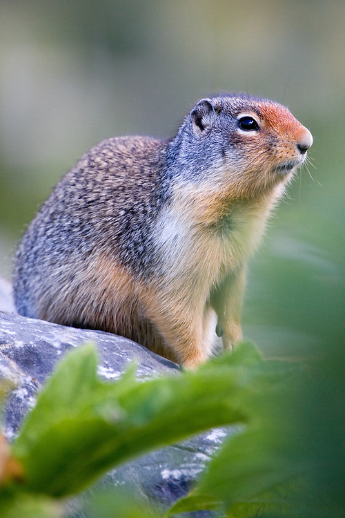 Columbian Ground Squirrel sitting on a rock