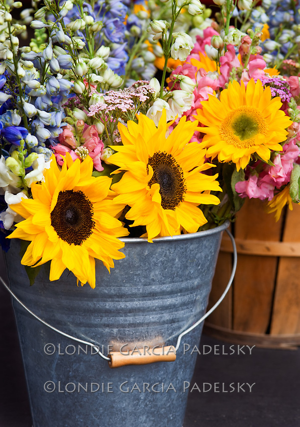 Sunflowers in garden bucket, Central Coast, California