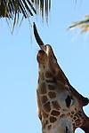 reticulated giraffe tongue