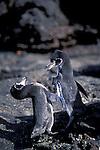 Galapagos Penguin - Spheniscus mendiculus.Galapagos, Ecuador, South America.Pair..