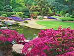 Kubota Gardens, Seattle, WA<br /> Spring blooming azaleas near the ponds in the Tom Kubota Stroll Garden with purple flowering ajuga in the distant garden beds