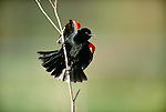 Red-winged blackbird, Sacramento National Wildlife Refuge Complex, California, USA