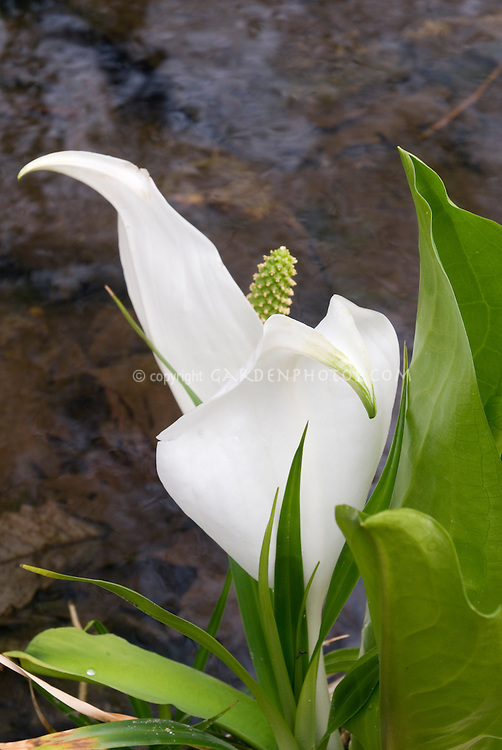 White skunk cabbage, Lysichiton camtschatcensis in bloom next to water