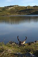 Head of hunted reindeer,Forollhogna,Norway Landscape, landskap,