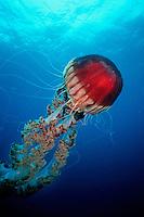 Giant Jellyfish, Chrysaora sp ., California, Pacific Ocean